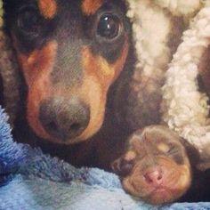 Dachshund mom and her newborn baby !!!