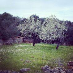 Mallorca's #almond #blossom season. A #magical #landscape #paradise #island #nature www.balearinvestluxury.com