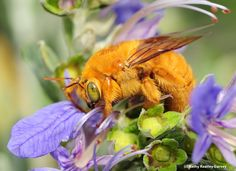 Bees Aren't as Hive-Minded as We Think. Most of the 20,000 species of bees don't live in groups. The overwhelming majority of them are actually solitary creatures. by Polly Stryker 2/28.2018 KQED