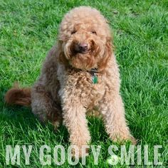 MY GOOFY SMILE! For more Goldendoodle smiles and photos, see my Instagram @happygodoodle. #derpydog #happygodoodle #redgoldendoodle Goofy Smile, Goofy Dog, You Doodle, Doodle Dog, Red Goldendoodle, Funny Doodles, Dog Humor, Funny Dogs, Cute Pictures