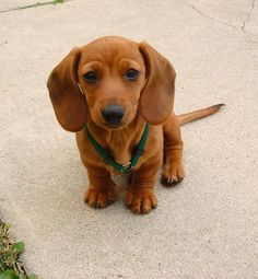 Things Only Dachshund Lovers Can Relate To. 5 Will Crack You Up! 15 Things Only Dachshund Lovers Can Relate To. 5 Will Crack You Up! - Page 15 of 15 - Barmy Things Only Dachshund Lovers Can Relate To. 5 Will Crack You Up! - Page 15 of 15 - Barmy Pets Cute Puppies, Cute Dogs, Dogs And Puppies, Baby Dogs, Puggle Puppies, Maltese Dogs, Baby Puppies, Baby Baby, Baby Animals
