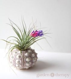 How to get your air plant to bloom - for an adorable touch to your little corner of the world.