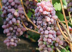 Обрезка винограда: кордон В средней полосе и севернее можно использовать кордонные формировки винограда - для выращивания сильнорослых сортов. #обрезкавинограда #кордон