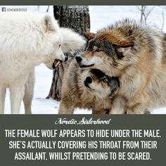 Female wolf protects the male