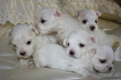 Maltese puppies I found on Craigslist this morning