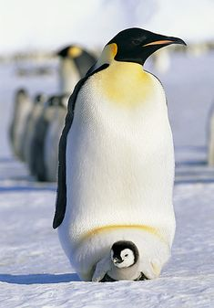 male emperor penguin (father) with his baby chick ... Antarctica