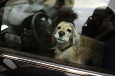 Ich beleuchte die Rechtslage, wenn Ihr einen Hund aus einem überhitzten Auto befreit durch Einschlag der Autoscheibe. Was ist zu beachten?