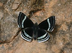 Theodora Metalmark (Chalodeta theodora) This species appears to be confined to primary rainforest east of the Andes, at altitudes between about 200-1000 metres. It is commonly seen in light gaps in the forest, but can also be found in forest edge habitats and glades.