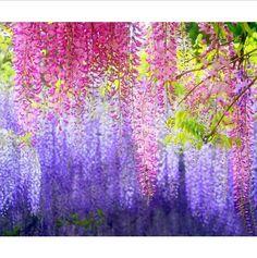 4 Seeds Wisteria Flower Seeds Purple Wisteria by Greenworld1