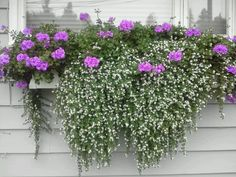 Ivy Geranium & Bacopa in hanging baskets Container Flowers, Container Plants, Container Gardening, Cut Flowers, Purple Flowers, White Flowers, Window Planters, Flower Planters, Ivy Geraniums