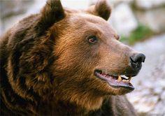 Бурый медведь - Hledat Googlem