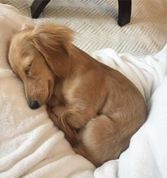 Dachshund puppies - The many things I adore about the Spunky Daschund Pup daschundmom daschunds DachshundPuppy daschundfunny Dachshund Breed, Dachshund Puppies, Weenie Dogs, Dachshund Love, Cute Puppies, Cute Dogs, Dogs And Puppies, Doggies, Dapple Dachshund