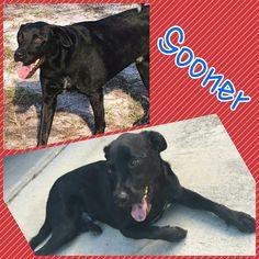 Found Dog - Labrador Retriever - Macclenny, FL, United States