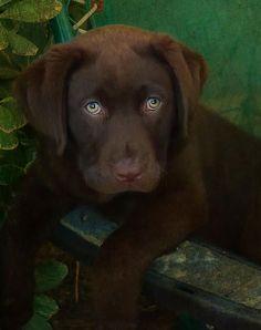 gsfrenchshabbylife / chocolate lab puppy / SO stinkin' cute!