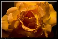 A flower of rose by Giancarlo Gallo