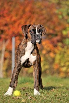 Boxer dog loving the falltime