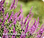 As an excellent source of stable vegan omega-3 fatty acids, clary sage oil is an exceptional alternative to fish fats