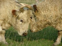 Chillingham Wild Cattle - Wild Beasts of Chillingham - an entry to Englands Hall of Fame by Visit Northumberland