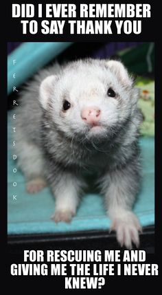 is a ferret right for you ferret universe | Ferret Memes | lol-rofl.com