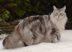 Silver Maine Coon Cat | Maine Coon Cat - Honorverse Wiki - David Weber, Honor Harrington