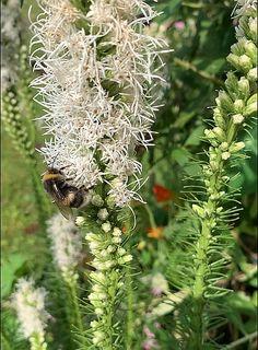 Herbstblüher für Bienen, Hummeln, Schwebfliegen, Schmetterlinge und viele andere Dandelion, Flowers, Plants, Bumble Bees, Insects, Levitate, Bowties, Dandelions, Plant