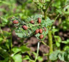 На заметку дачнику  Средство от жуков на ботве картофеля  Одну пачку сухой горчицы разводим в ведре воды, добавляем 100 мл столового 9%-ного уксуса, тщательно перемешиваем и опрыскиваем этой смесью ботву картофеля. Жуков не бывает. Gardening, Fruit, Plants, Janus, Lawn And Garden, Plant, Planets, Horticulture