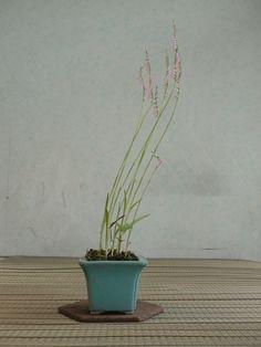 Spiranthes (nejibana). 2012.彩夏涼風・4 捩花 ネジバナ : 《 盆草遊楽 》