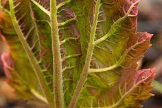 Rheum palmatum tanguticum (Ornamental Rhubarb) - Spring 2011