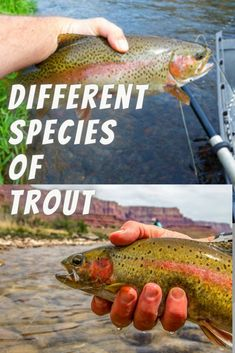 There are many different types of trout species. Some of them are incredibly easy to catch while some are quite difficult and require a lot of skill to hook. whether you're fishing for rainbow trout, browns or cutthroats, you must be able to identify each of these different kinds of trout. Here's How To Identify Different Species of Trout. Trout Fishing Tips, Carp Fishing, Green To Blue, Dawn And Dusk, Moving Water, Brown Trout, Fishing Techniques, Different Types, Rainbow Trout