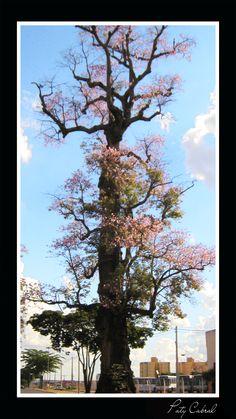 Aqui chamamos essa árvore de barriguda, é muito antiga e foi considerada patrimônio da cidade.