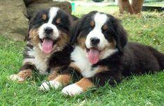 Kortenhof Farm offering Bernese Mountain Dog Puppies