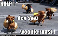 dachshund (seen by @Amadajsd64 )