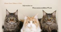 Know everything about Maine coon from history to adoption and food.