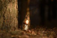 https://flic.kr/p/r56rgc | Red Squirrel