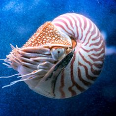 TIL that the Chambered Nautilus a cephalopod hasn't evolved much in over 150 MILLION YEARS. Furthermore it is the only cephalopod with a shell and male births tend to be preferred as for some unknown reason the population is male and female. Monterey Bay Aquarium, Living Fossil, Save Our Oceans, Monterey California, Sea Otter, Saltwater Aquarium, Ocean Creatures, Nautilus, Ocean Life