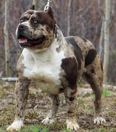 American bully with merle color Merle Pitbull, Bully Pitbull, Amstaff Terrier, Pitbull Terrier, Big Dogs, Cute Dogs, Dogs And Puppies, Beautiful Dogs, Animals Beautiful