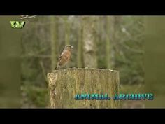 New videoclip in the StockShot PermaStore: Gardenbirds 02: Robin - Blackbird - Finch