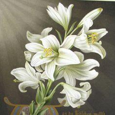 ca. 1870 by Hermine Stilke LILY Flowers by AntiqueORIGINALS