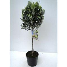 Oliventre med en fin potte, gjerne i rustikk betong eller lys/hvit