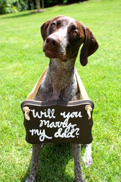 German Shorthaired Pointer puppy engagement proposal dog