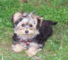 Morkies are loyal, affectionate and loving