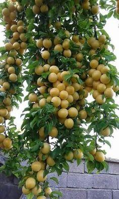 .~Fruit~.