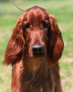 "See the ""A Rollicking Breed"" in our AKC Meet the Breeds: Irish Setter gallery"