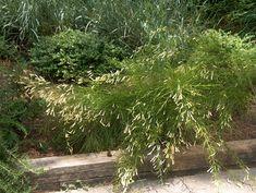 Russelia equisetiformis 'Aurea'  / Russelia equisetiformis 'Aurea'  - OnlinePlantGuide.com 7268