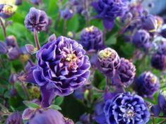 ღஐƸ̵̡Ӝ̵̨̄Ʒஐღ Columbine Seeds Mixed Pink Purple & White ❀ Mix of Singles and Doubles May Flowers, Wild Flowers, Columbine Flower, Snow Today, Garden Seeds, Botany, Pink Purple, Flower Power, Outdoor Gardens