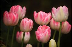Flaming Purissima Tulips