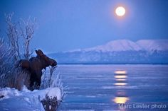 Browsing moose, Mt. Susitna ... under a Winter moon near Anchorage, Alaska. - by Marc Lester Photo