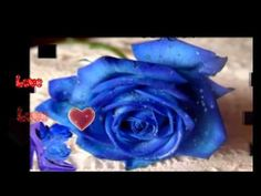 Show blue rose flowers hd wallpaper and picture. Information about blue rose flowers. Rose flowers is one of popular flower in United State. Rarely seen blue roses, but roses are very beautiful blue.