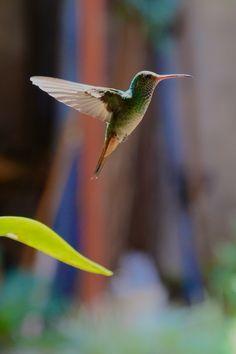 Colibri in flight