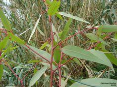 Eucalipto- limão - Eucalyptus citridora